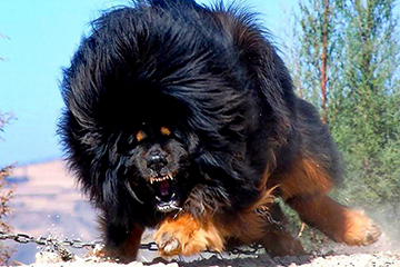 31 Biggest Dogs In The World We Can't Believe Are Real