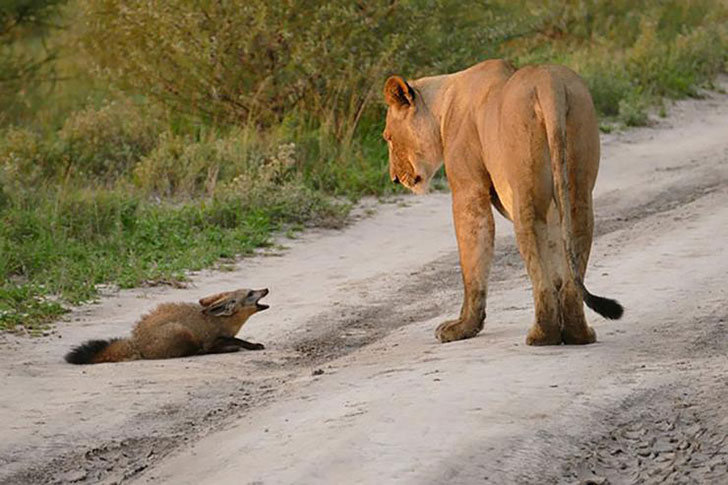 when-a-lion-family-caught-an-injured-fox-the-most-unexpected-just-happened-16-pics-1.jpg